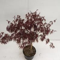 "Plantenwinkel.nl Japanse esdoorn (Acer palmatum ""Inaba Shidare"") heester - 30-40 cm - 1 stuks"