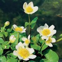 "Moeringswaterplanten Witte dotterbloem (Caltha palustris ""alba"") moerasplant - 6 stuks"