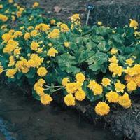 "Moeringswaterplanten Dubbele dotterbloem (Caltha palustris ""multiplex"") moerasplant - 6 stuks"