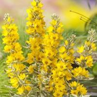 "Moeringswaterplanten Bont moeras (Lysimachia ""variegata"") moerasplant - 6 stuks"