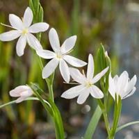 """Moeringswaterplanten Witte kafferlelie (Schizostylis coccinea """"alba"""") moerasplant - 6 stuks"""