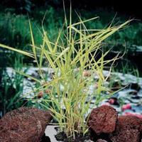 "Moeringswaterplanten Bont riet (Phragmites Australis ""variegata"") moerasplant - 6 stuks"