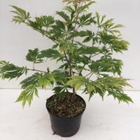 "Plantenwinkel.nl Japanse esdoorn (Acer Japonicum ""Aconitifolium"") heester - 30-40 cm - 1 stuks"