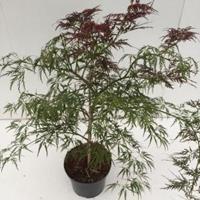 "Plantenwinkel.nl Japanse esdoorn (Acer palmatum ""Ornatum"") heester - 40-50 cm - 1 stuks"