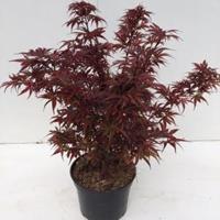 "Plantenwinkel.nl Japanse esdoorn (Acer palmatum ""Shaina"") heester - 40-50 cm - 1 stuks"