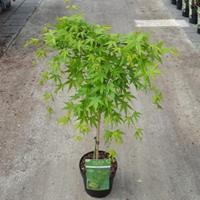 """Plantenwinkel.nl Japanse esdoorn (Acer palmatum """"Ryusen"""") heester - op stam 40 cm - 1 stuks"""