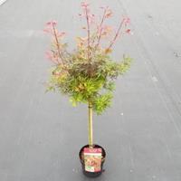 "Plantenwinkel.nl Japanse esdoorn op stam (Acer palmatum ""Shaina"") heester"