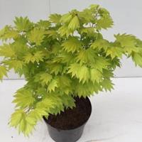 """Plantenwinkel.nl Japanse esdoorn (Acer shirasawanum """"Aureum"""") heester - 30-40 cm - 1 stuks"""