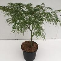 "Plantenwinkel.nl Japanse esdoorn (Acer palmatum ""Dissectum"") heester - 50-60 cm - 1 stuks"