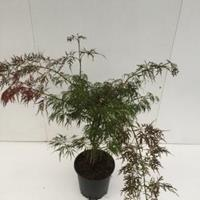 "Plantenwinkel.nl Japanse esdoorn (Acer palmatum ""Ornatum"") heester - 50-60 cm - 1 stuks"