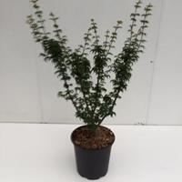 """Japanse esdoorn (Acer palmatum """"Shishigashira"""") heester - 40-50 cm - 1 stuks"""