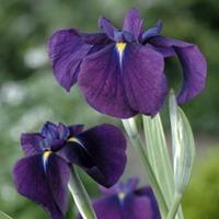 "Moeringswaterplanten Bonte Japanse iris (Iris ensata ""Variegata"") moerasplant - 6 stuks"