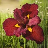 Moeringswaterplanten Rode Japanse iris (Iris Louisiana Ann Chowning) moerasplant - 6 stuks