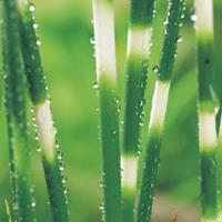 "Moeringswaterplanten Bonte mattenbies (Scirpus tabernaemontani ""Zebrinus"") moerasplant - 6 stuks"