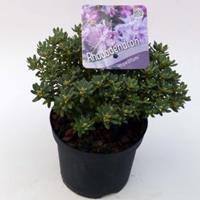 "Plantenwinkel.nl Dwerg rododendron (Rhododendron ""Impeditum"") heester - 15-20 cm - 8 stuks"