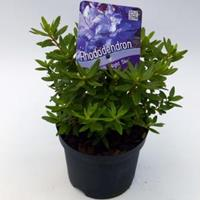 "Plantenwinkel.nl Dwerg rododendron (Rhododendron ""Night Sky"") heester - 12-20 cm - 8 stuks"