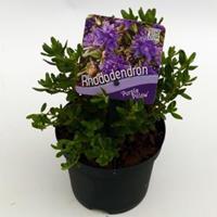 "Plantenwinkel.nl Dwerg rododendron (Rhododendron ""Purple Pillow"") heester - 8 stuks"