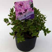 "Plantenwinkel.nl Dwerg rododendron (Rhododendron ""Ramapo"") heester - 15-20 cm - 8 stuks"