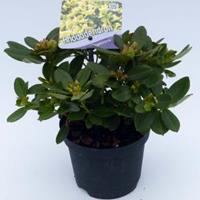 "Plantenwinkel.nl Dwerg rododendron (Rhododendron ""Shamrock"") heester - 15-20 cm - 8 stuks"