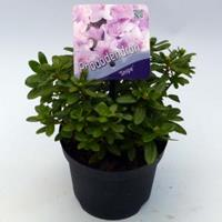 "Plantenwinkel.nl Dwerg rododendron (Rhododendron ""Snipe"") heester - 15-20 cm - 8 stuks"
