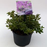 "Plantenwinkel.nl Dwerg rododendron (Rhododendron Calostrotum ""Keleticum"") heester - 15-20 cm - 8 stuks"
