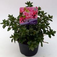 "Plantenwinkel.nl Rododendron (Rhododendron Japonica ""Anne Frank"") heester - 15-20 cm - 8 stuks"