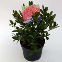"Plantenwinkel.nl Rododendron (Rhododendron Japonica ""Arabesk"") heester - 12-20 cm - 8 stuks"