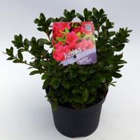 "Plantenwinkel.nl Rododendron (Rhododendron Japonica ""Geisha Red"") heester - 15-20 cm - 8 stuks"