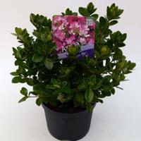 "Plantenwinkel.nl Rododendron (Rhododendron Japonica ""Izum-No-Mai"") heester - 15-20 cm - 8 stuks"