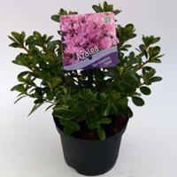"Plantenwinkel.nl Rododendron (Rhododendron Japonica ""Kermesina Rose"") heester - 15-20 cm - 8 stuks"
