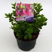 """Plantenwinkel.nl Rododendron (Rhododendron Japonica """"Kermesina"""") heester - 15-20 cm - 8 stuks"""