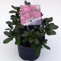 "Plantenwinkel.nl Rododendron (Rhododendron Japonica ""Melina"") heester - 15-20 cm - 8 stuks"