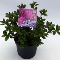 "Plantenwinkel.nl Rododendron (Rhododendron Japonica ""Purpurtraum"") heester - 15-20 cm - 8 stuks"
