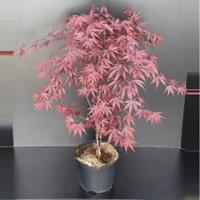 "Plantenwinkel.nl Japanse esdoorn (Acer palmatum ""Fireglow"") heester"