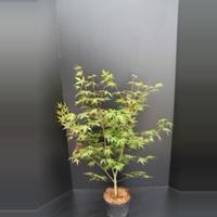 "Plantenwinkel.nl Japanse esdoorn (Acer palmatum ""Osakasuki"") heester - 60-80 cm - 1 stuks"