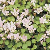 Moeringswaterplanten Teer guichelheil (Anagallis tenella) zuurstofplant - 10 stuks