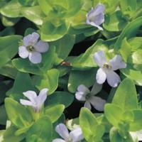 Moeringswaterplanten Brede bacopa (Bacopa caroliniana) zuurstofplant - 10 stuks