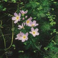 Moeringswaterplanten Waterviolier (Hottonia palustris) zuurstofplant - 10 stuks