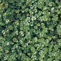 "Moeringswaterplanten Waternavel (Hydrocotyle ""Nova-Zealandiae"") zuurstofplant - 10 stuks"
