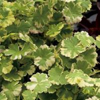 "Moeringswaterplanten Bonte waternavel (Hydrocotyle sib. ""Variegata"") zuurstofplant - 10 stuks"