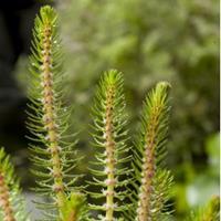 Moeringswaterplanten Vederkruid (Myriophyllum crispata) zuurstofplant - 10 stuks