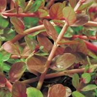 Moeringswaterplanten Rotala (Rotala indica) zuurstofplant - 10 stuks
