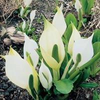 Moeringswaterplanten Moerasaronskelk (Lysichiton camtschatcensis) moerasplant - 6 stuks
