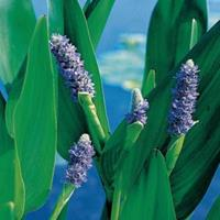 Moeringswaterplanten Reuze snoekkruid (Pontederia lanceolata) moerasplant - 6 stuks