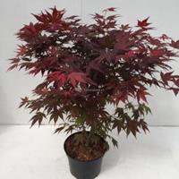 "Plantenwinkel.nl Japanse esdoorn (Acer Palmatum ""Atropurpureum"") - 70-80 cm - 1 stuks"