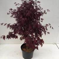 "Plantenwinkel.nl Japanse esdoorn (Acer palmatum ""Bloodgood"") heester - 80+ - 1 stuks"