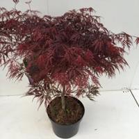 "Plantenwinkel.nl Japanse esdoorn (Acer palmatum ""Garnet"") heester - 60+ cm - 1 stuks"
