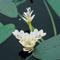 Moeringswaterplanten Kaapse waterlelie (Aponogeton Distachyos) waterlelie - 6 stuks