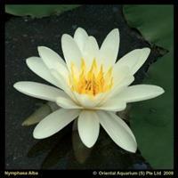 Moeringswaterplanten Witte waterlelie (Nymphaea alba) waterlelie - 6 stuks