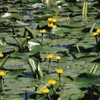 Moeringswaterplanten Gele plomp (Nuphar lutea) waterlelie - 6 stuks